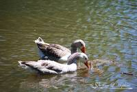 Greylag Geese 20130512_58a
