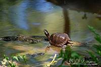 Painted Turtle 20130523_16a