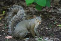 Grey Squirrel 20130523_99a