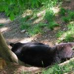 """Black Bear 20130515_115a"" by Natureexploration"