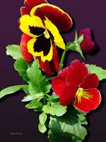 Pansy Family