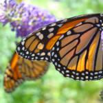 """""""Monarch Butterfly nature art prints Butterflies"""" by BasleeTroutman"""