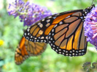Monarch Butterfly nature art prints Butterflies