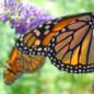 Monarch_Butterflies_Decorative_Art_Prints Art Prints & Posters