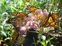 Butterflies art prints Monarch Butterfly nature Fl