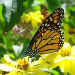 """Butterflies Monarchs art prints Yellow Flowers"" by BasleeTroutman"