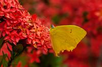 delicate yellow butterfly