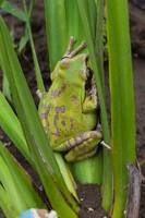 1441 c green frog