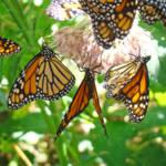 """Butterflies art prints Monarch Butterfly Nature Fl"" by BasleeTroutman"