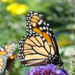 """Monarch butterfly art prints Butterfiles Garden"" by BasleeTroutman"