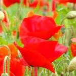 """Red Poppies Meadow art prints Poppy Flowers"" by BasleeTroutman"