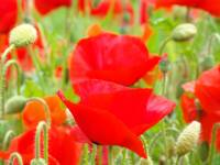 Red Poppies Meadow art prints Poppy Flowers