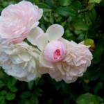 """Delicate Roses"" by RickTodaro"