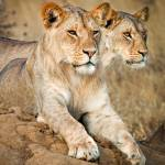 """African Lions Ever Vigilant"" by mjphoto-graphics"