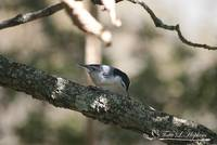 White-breasted Nuthatch 20121003_14