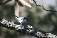 White-breasted Nuthatch 20121003_27