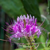 Pretty purple Knapweed flowers