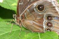 Eyes of A Blue Morpho