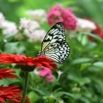 """Black and White Butterfly on Red Daisy"" by DarrinAldridge"