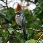 """Blue Jay In the Rain"" by DarrinAldridge"
