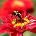 """Busy Bumblebee"" by DarrinAldridge"