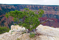 Grand Canyon Tree Study 2