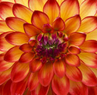 Red Dahlia Close Up