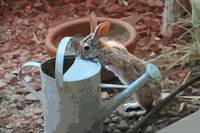 THIRSTY BUNNY