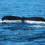 """""""Humpback Whale Tail 3"""" by foxvox"""