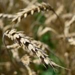 """what wheat"" by LexBozek"