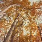 """autumn birches"" by Piri"