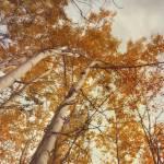 """""""autumn birches"""" by Piri"""