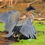 """Green Heron"" by shelshots"