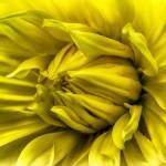 """""Sunshine Lollipop"" Dahlia Flower"" by SoulfulPhotos"