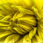 """""Sunshine Lollipop"" Dahlia Flower"" by SoulfulPhotos"