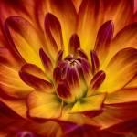 """""Juicy Nectarine"" Dahlia Flower"" by SoulfulPhotos"