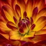 """""Juicy Nectarine"" Dahlia Flower"" by SoulfulPhotos"