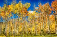 Colorful Colorado Autumn Aspen Trees