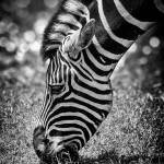 """Spots & Stripes"" by tomgehrke"