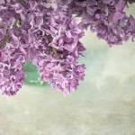 """""""French Lilac"""" by judystalus"""