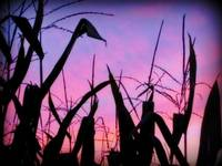 Purple Cornfield
