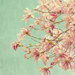 """Star Magnolia"" by judystalus"