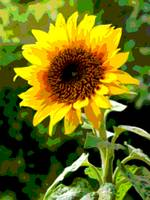 Sunflower Enhanced