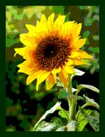 Sunflower Enhanced small border