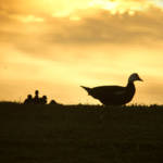 """Momma Muscovy Duck and Baby Ducklings at Sunrise"" by ValeriesGallery"