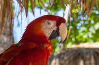 Scarlet Macaw profile