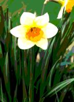 Daffodil Enhanced