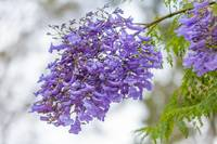 beautiful Jacaranda tree with purple flowers