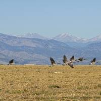 """Flying Canadian Geese Colorado Rocky Mountains "" by James ""BO"" Insogna"