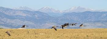 Flying Canadian Geese Rocky Mountains Panorama 2
